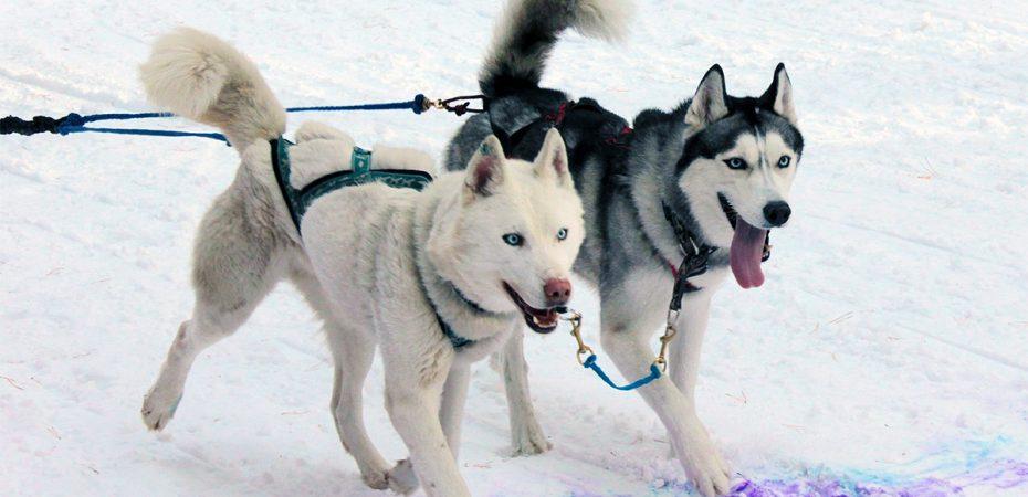 соревнование на ездовых собаках, русский берег, старая майна, старомайнский район